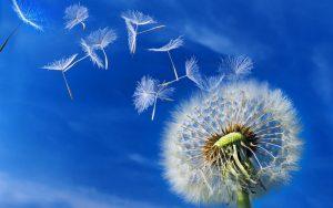 Dandelionblowing1 300x188 - Hypnotherapy