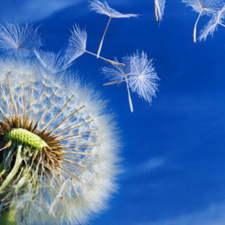 MINE Dandelionblowing shutterstock.copy 320x320 - New Demo