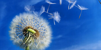 MINE-Dandelionblowing-shutterstock.copy_.jpg